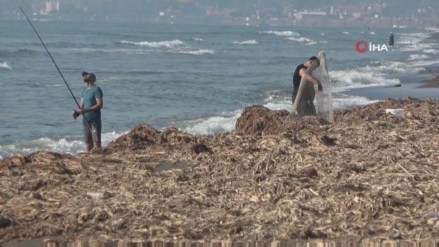 Samandağ Sahili'nde bu kez de 'su sümbülleri' krizi yaşanıyor