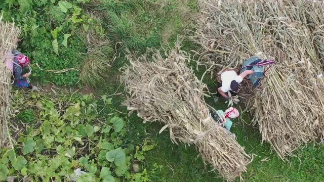 """TRABZON – Doğu Karadeniz'in çalışkan kadınları """"güz"""" telaşında"""